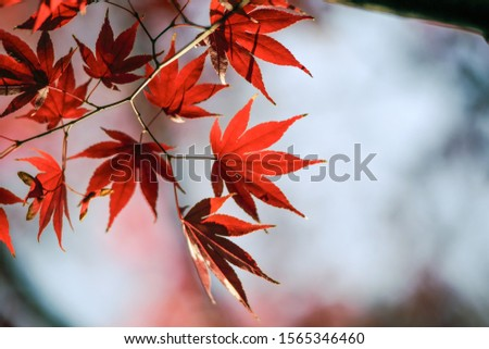 japanese maple leaves in Autumn #1565346460