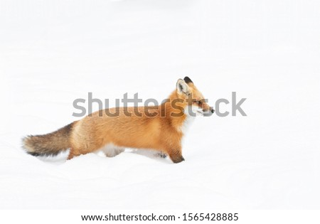 Red fox Vulpes vulpes isolated on white background with a bushy tail hunting in the freshly fallen snow in Algonquin Park in Canada #1565428885