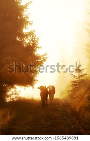 calves in the meadow in the early morning among the grass in sparkling dew and fog. Alpine meadows. #1565489881
