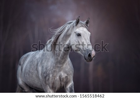 Portrait of a running arabian horse.  #1565518462