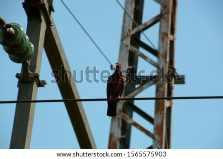 single pigeon perched on power cable in front of blue sky, dove on an electric wire #1565575903