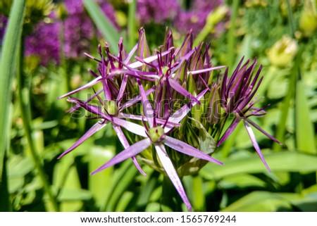 Beautiful purple flowers Allium giganteum, cultivar Globemaster. #1565769244