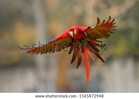 Scarlet macaw in the fly with spread wings. #1565872948
