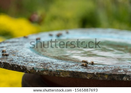 Bees are drinking water at birdbath in a green and yellow flower garden on midday. Blurred background, high angle view and close up. #1565887693