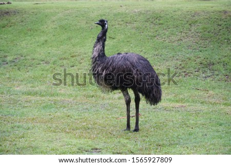 picture showing a large emu standing on the grass on an australian campground