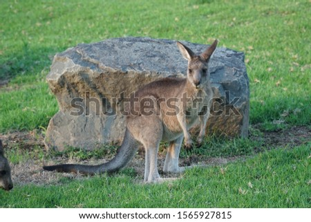 picture showing a wallaby in the sunrise on an australian campground, kangaroo valley