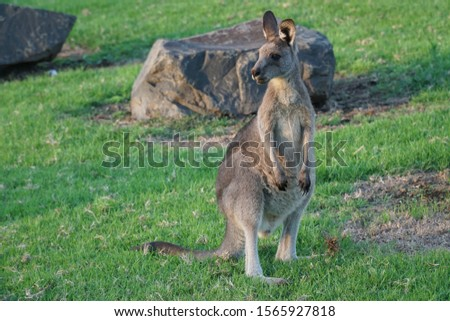 picture showing a wallaby standing in the sunrise on an australian campground, kangaroo valley