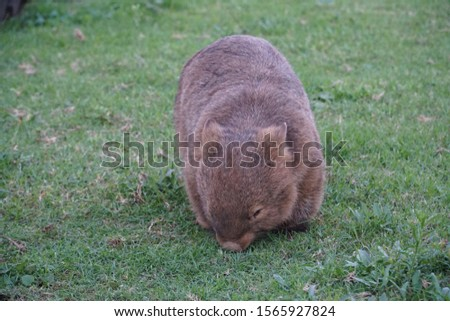 picture showing a cute wombat eating grass on a campground in australia, kangaroo valley