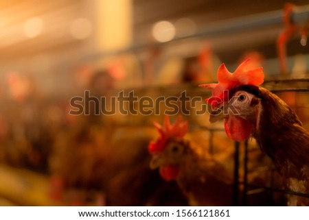 Chicken farm. Egg-laying chicken in cages. Commercial hens poultry farming. Layer hens livestock farm. Intensive poultry farming in close systems. Egg production agriculture. Domesticated birds. Royalty-Free Stock Photo #1566121861