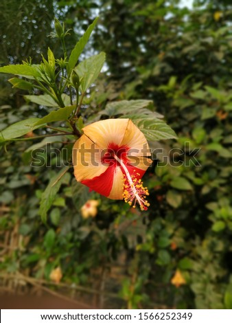Hibiscus flower , the hibiscus flower in two different colors in indian garden,arhul ka phul two in color #1566252349