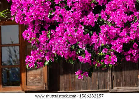 Purple bougainvillea flowers texture pattern background of the house. Beautiful magenta aglabra in greenery area. Paper flower. Great bougainvillea spectabilis willd. Dalat, Vietnam. #1566282157