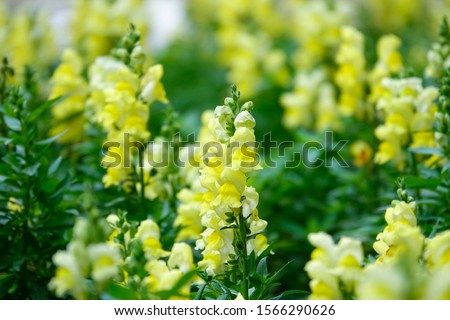 Foxglove flowers in garden, Dalat, Vietnam #1566290626