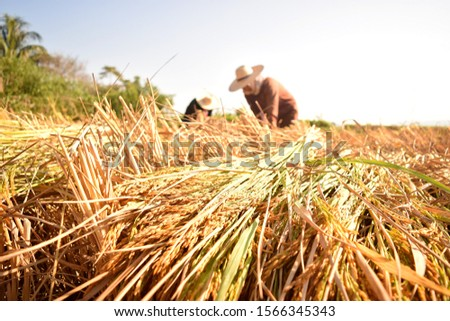 farmer harvesting rice product in his rice field, pic shows rice grains and ear rice have golden color and feel warm light at morning time