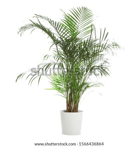 Pot with Ravenea rivularis plant isolated on white. Home decor #1566436864
