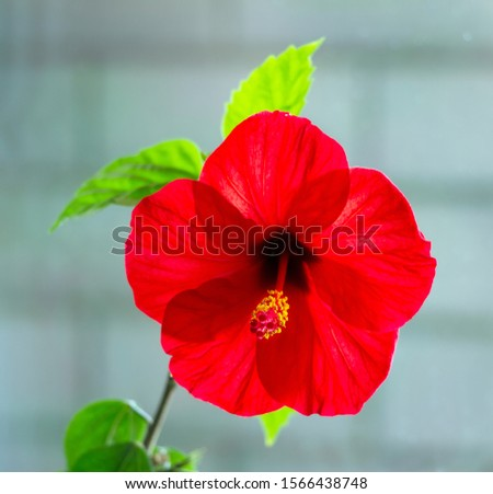 red hibiscus flower,Hibiscus rosa-sinensis,front view ,on light,closeup, #1566438748