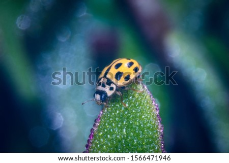 A macro shot of a yellow 22-spot ladybird trying to climb over a green cactus leaf in the garden. #1566471946