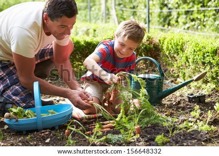 Father And Son Harvesting Carrots On Allotment #156648332