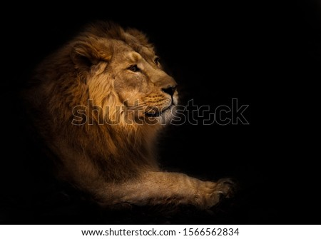 calmness. Calm and confident profile view. A powerful male lion with a chic mane impressively lies. night darkness, isolated black background. #1566562834