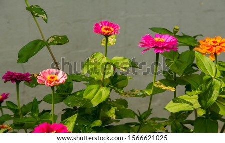 Zinnias are annual plants, shrubs and sub-shrubs growing mainly in North America, Zinnias can be white, greenish yellow, yellow, orange, red, purple or lilac. #1566621025