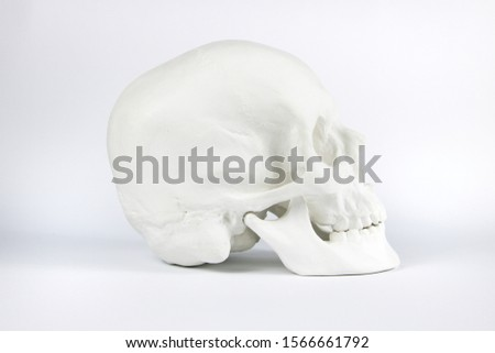 Gypsum human skull at white background. Forensic science and anatomy concept. #1566661792