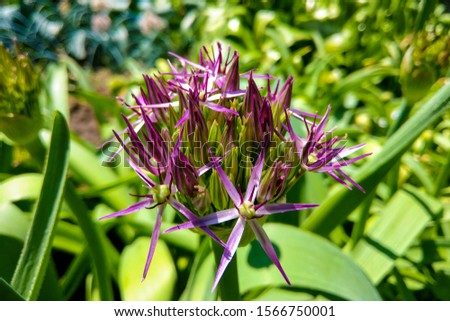 Allium blooming close up. Ball of blossoming allium flowers. Beautiful alliums for gardening theme. Botany concept. #1566750001