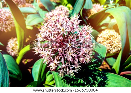Allium blooming close up. Ball of blossoming allium flowers. Beautiful alliums for gardening theme. Botany concept. #1566750004