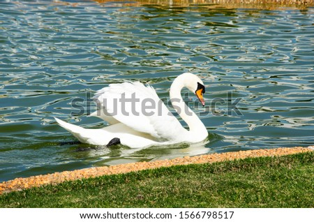 White swan in a Betel pond #1566798517