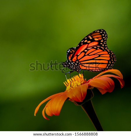 Monarch Butterfly feeding on a single orange zinnia blossom with a green background.