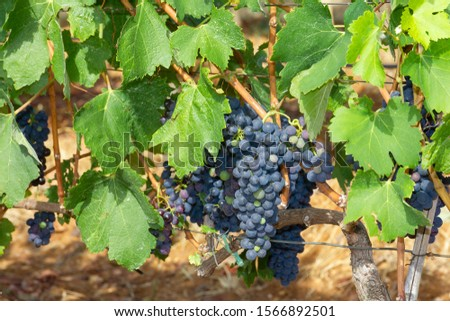 Black grape clusters, growing red vine grapes, vineyard #1566892501