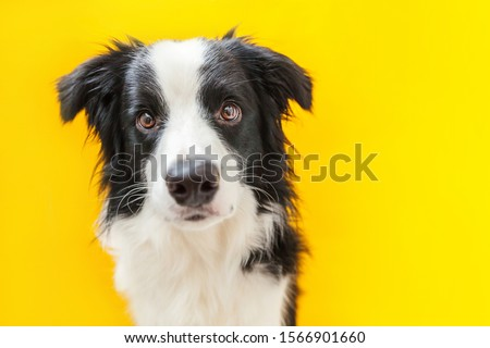 Funny studio portrait of cute smilling puppy dog border collie isolated on yellow background. New lovely member of family little dog gazing and waiting for reward. Pet care and animals concept. #1566901660
