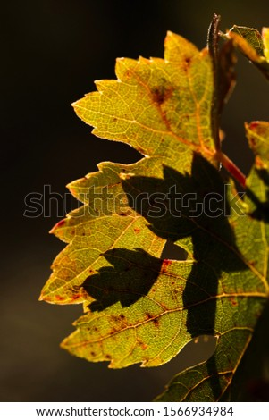 Detail of vine leaf in autumn, red and orange colors, with blurred background. #1566934984