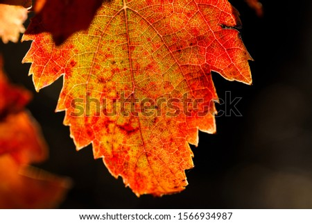 Detail of vine leaf in autumn, red and orange colors, with blurred background. #1566934987