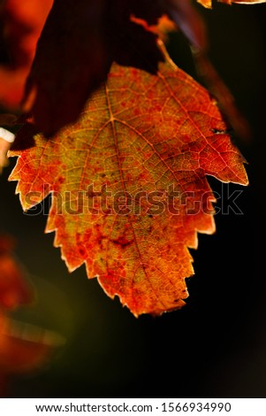 Detail of vine leaf in autumn, red and orange colors, with blurred background. #1566934990
