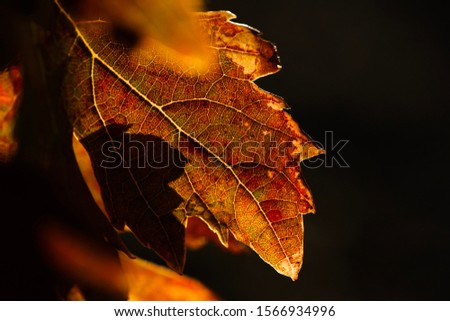 Detail of vine leaf in autumn, red and orange colors, with blurred background. #1566934996