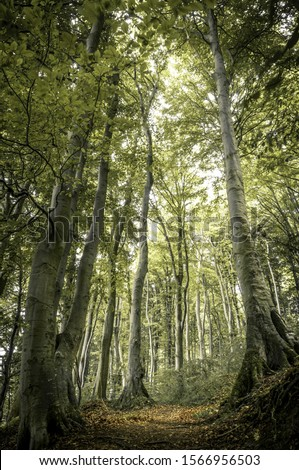 Ancient Beech (Fagus) along the lower shore path from Lohme to Koenigstuhl, Jasmund National Park, Rügen, Mecklenburg-Western Pomerania, Germany #1566956503