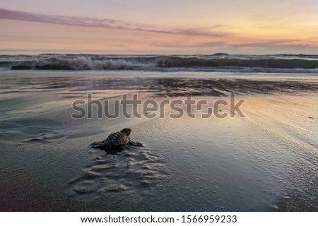 Close up of a baby sea turtle making its way to ocean at sunset on a dark sand volcanic beach. Conservation and preservation of endangered marine species concept. Selective focus, space for copy.  Royalty-Free Stock Photo #1566959233