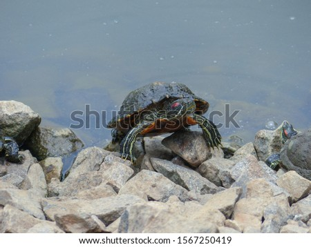 Red-eared Terrapin Turtle (Trachemys scripta elegans) emydidae turtle, at the edge of the water at MacRitchie Reservoir Nature Reserve, Singapore, Southeast Asia. Asian wild terrapin turtle. #1567250419