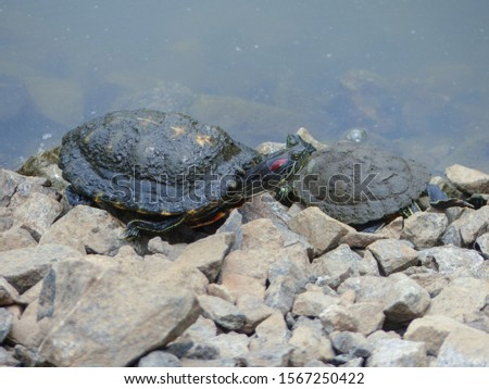 Red-eared Terrapin Turtle (Trachemys scripta elegans) emydidae turtle, at the edge of the water at MacRitchie Reservoir Nature Reserve, Singapore, Southeast Asia. Asian wild terrapin turtle. #1567250422