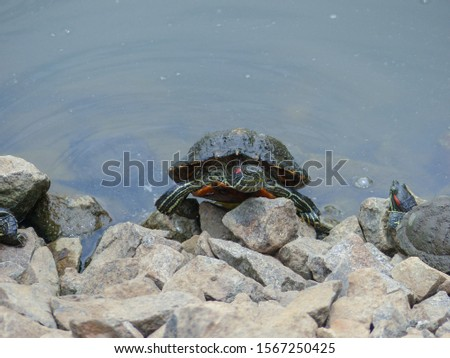 Red-eared Terrapin Turtle (Trachemys scripta elegans) emydidae turtle, at the edge of the water at MacRitchie Reservoir Nature Reserve, Singapore, Southeast Asia. Asian wild terrapin turtle. #1567250425
