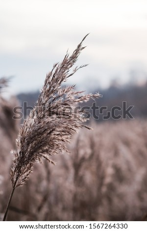 Dry reed on the lake, reed layer, reed seeds. Golden reed grass in the fall in the sun. Abstract natural background. Beautiful pattern with neutral colors. Minimal, stylish, trend concept. #1567264330