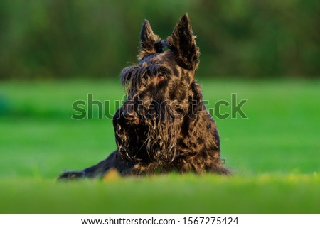 Cute portrait of black Scottish Terrier Dog. Evening light with terrier in green grass. Sunset in the garden. Black dog in the nature habitat. #1567275424
