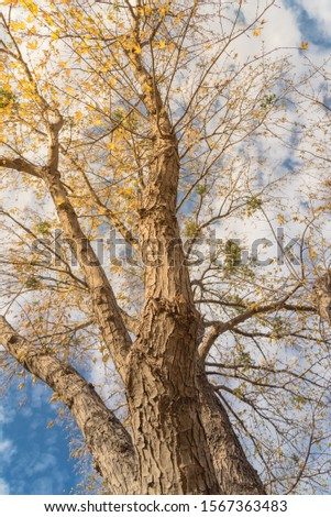 Vertical upward perspective vibrant yellow maple leaves changing color during fall season in Dallas, Texas, USA. Tree tops converging into blue sky. Nature wood forest, canopy of tree branches #1567363483