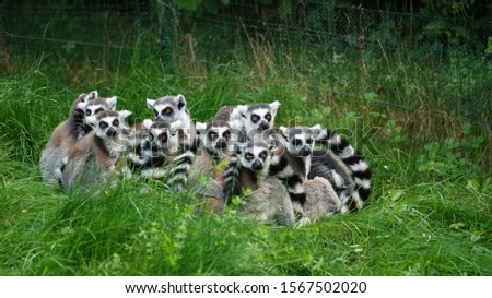 Lemurs make a family picture