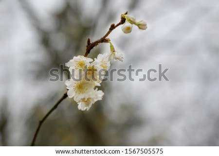 White blossoms of the winter flowering cherry (Prunus subhirtella) on a hazy November day in northern Germany, blurry gray background with copy space, selected focus, narrow depth of field #1567505575