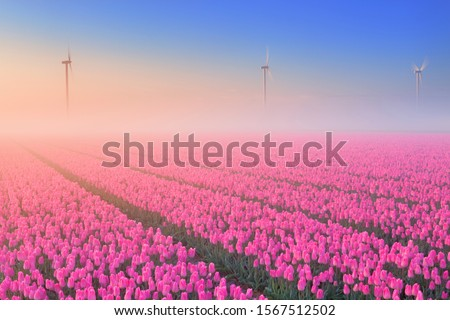 Colourful tulips in the Netherlands, photographed on a beautiful foggy morning. #1567512502