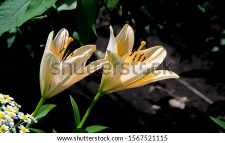 Lilium is a genus of herbaceous flowering plants growing from bulbs, all with large prominent flowers. Lilies are a group of flowering plants which are important in culture  in much of the world. #1567521115