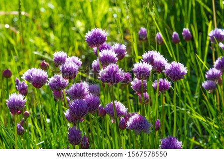 Chives, scientific name Allium schoenoprasum, A perennial plant, it is widespread in nature across much of Europe, Asia, and North America. The plant provides a great deal of nectar for pollinators. #1567578550