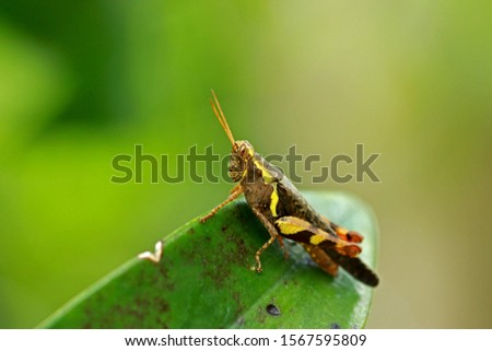 Grasshopper grip on large leaves to camouflage it.