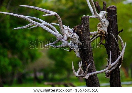 The skulls of deer animals hanging on trees are in the wilderness, traces of wild predators and natural predators. #1567605610