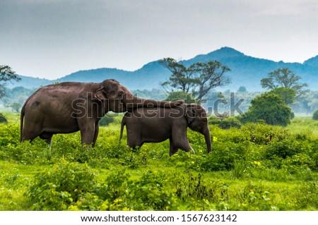 Elephant mom takes care of baby elephant at Minneriya,s National Park, Sri Lanka  Royalty-Free Stock Photo #1567623142